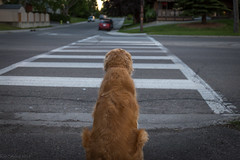 Patience, Perseverence, Discipline (Explored No.404, 23-Aug-2016) (Patstirling) Tags: golden retriever dog sidewalk crosswalk fur canine grass green walk waiting street depthoffield dof canon70d 2470mmf4l explore inexplore