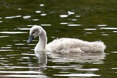 Schwan (wildlifeNRW) Tags: vogel vgel bird birds wildlife natur nature wasservogel wasservgel schwan schwne swan