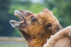 Bactrian Camel (DeanWebleyPhotography) Tags: animals animal camel bactrian bactriancamel