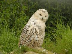 Snowy Owl, Highland Wildlife Park, Kincraig, July 2016 (allanmaciver) Tags: snowy owl highland wildlife park kincraig visitor animal bird white watch wait stare admire enjoy delight allanmaciver