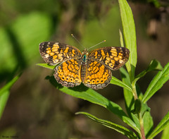 Pearl Crescent (b88harris) Tags: pearl crescent butterfly insect nature natural dauphin county pennsylvania orange black green gamelands nikon d7200 nikkor 300mm lens wings flying
