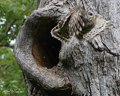 Woosh (Alfred J. Lockwood Photography) Tags: alfredjlockwood nature wildlife bird owl barredowl flight nest tree oaktree spring afternoon colleyvillenaturecenter texas
