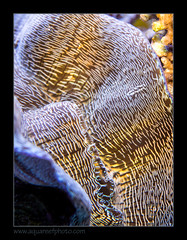 STETderasa7222_160616 (kactusficus) Tags: marine aquarium reef tank home coral tridacna derasa clam benitier