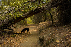 Otto in the woods (alejo.365shoots) Tags: dog pinscher woods 365