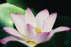 Lotus (mr ivanchan) Tags: 2000views 50faves nature lotus flower leaves green pond sunlight daylight outdoor nopeople