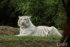 Tigre blanc - Zoo La Fleche - 20160817 (0918) (laurent lhermet) Tags: sel55210 zoo zoodelafleche tigre tigreblanc
