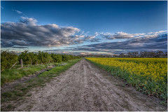 Life is always a little bit different on the other side of the track (RissaJT_23) Tags: canola goldencanola canolafield road track yellow clouds cloud canon canon6d canoneos6d canon1740mm country australianlandscape australiancountry diggersrest