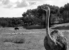 avestruz (cordobelillo ll) Tags: avestruz sigean