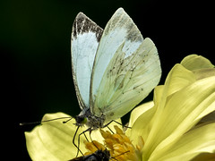 Leptophobia aripa (Green-eyed white / Mariposa de la col) (PriscillaBurcher) Tags: leptophobiaaripa leptophobia greeneyedwhitebutterfly mountainbutterfly mariposadelacol mariposablancadelacol mountainwhite mariposadeojosverdes pieridae butterfliesfromcolombia mariposasdecolombia l1640352
