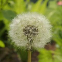 Dandelion (dorotheazinsser) Tags: macromondays dandelion lwenzahn wiese beginnswiththefirstletterofmyname