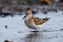 Little Stint (Simon Stobart (back but busy)) Tags: little stint beach water seaweed sand rocks northeastengland