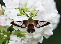Hummingbird Moth Clearwing (ksblack99) Tags: clearwinghummingbirdmoth hemaristhysbe phlox