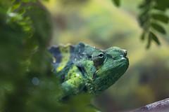 Meller's Chameleon 02 (cypher40k Photography) Tags: color colour nikon mellerschameleon chameleon reptile toronto torontozoo zoo