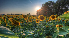 Sunset Over the Sunflower Field (Radical Retinoscopy) Tags: sunflower sunflowers fields pa pennsylvania hdr photomatix sunset fisheye canon815mm lens canont6s farm farming