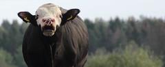 Stmning / Atmosphere (shemring) Tags: stmning fotosondag fotosndag fs160918 bull tjur