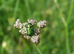 Cryptocephalus sp. (rockwolf) Tags: cryptocephalussp chrysomelidae leafbeetle coleoptera insect beetle labrenne indre france 2016 rockwolf