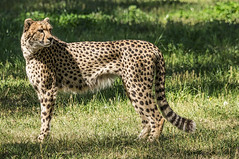 "On ""Safari"" in Dubbo! (gecko47) Tags: cheetah huntingleopard bigcat acinonyxjubatus tarongawesternplainszoo dubbo nsw exhibit captive hunter africa fastestlandanimal carnivore felidae mammal outdoors enclosure"