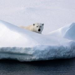 Polar Sentry (Aerindad) Tags: snow iceberg svalbard polarbear