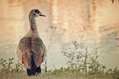 duck at the eveningly sea/ Ente am abendlichen See (CreactCult) Tags: ente see duck sea nikond5300