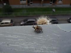 P1480168 Il Ragno saltatore -Salticidae- ha catturato la preda (Ragno con il corpo da 5 mm) (Franz Maniago) Tags: ragno ragnosaltatore ragnosaltatoreconpreda salticidae