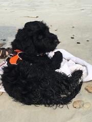 Gabby can't go anymore! (crisp4dogs) Tags: gabby pwd portuguesewaterdog crisp4dogs northcarolina beach