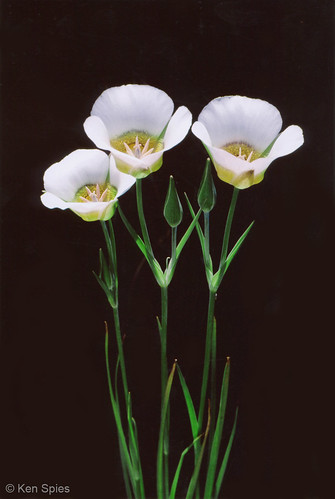 Photo - Mariposa Lilies