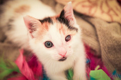 IMG_5121 (KaitlynV) Tags: rescue cats eye home girl beautiful female neglect cat canon 50mm one kitten blind cloudy sigma kittens foster lucky calico meow abuse abused collapsed clouded lseries 1635mm