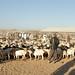 camel market - one goat, two goats