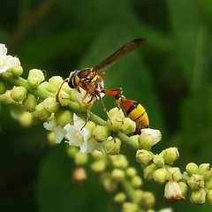 Wasp or Hornet (Nikita Hengbok) Tags: nature animal fauna insect wasp hornet naturephotography macrophotography wildlifephotography insectmacro wildlifephotos wildlifepics instagram insectsofsingapore animalsofsingapore wildlifeofsingapore