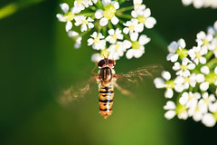 Hoverfly (Norbert Krlik) Tags: flowers macro green bokeh hoverfly canoneos5d canonef100mmf28macrousm