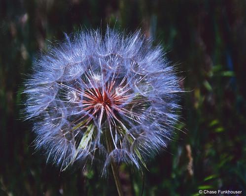 Photo - Blue Snowball