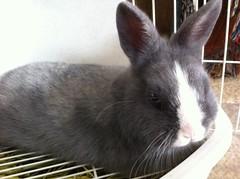 Hmm? (sakura_chan15) Tags: rabbit bunny netherlanddwarfrabbit