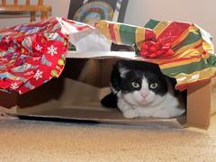 christmas peek (frankieleon) Tags: xmas pet holiday animal cat wrapping paper interestingness interesting bestof box emma kitty cc gift creativecommons present shipping popular package holidaywrap frankieleon