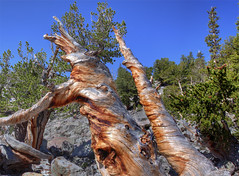 The Ancient Trees (Fereshte Faustini) Tags: trees nature bristlecone fineartphotography bristleconepine landscapephotography greatbasinnationalpark ancienttrees fereshtefaustini