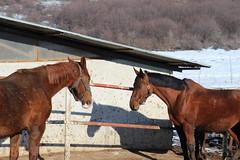 A Day At The Ranch - Pt. II (Been Around) Tags: ranch horses horse europa europe eu bulgaria silvester 2012 velikotarnovo bul bulgarien arbanasi thisphotorocks welikotarnowo velikotarnowo velikoturnowo