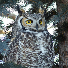 Oh, those eyes (annkelliott) Tags: canada tree bird nature birds closeup lumix explore alberta owl pointandshoot perched ornithology avian birdofprey greathornedowl bubo strigiformes bubovirginianus strigidae sprucetree nanton beautyinnature interestingness107 beautifulexpression annkelliott anneelliott frontsideview tigerowl nantonarea fz200 dmcfz200 panasonicdmcfz200 sofcalgary christmasbirdcount2012 swquadrantofcountcircle explore2013january01 p1080988fz200