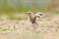 Least Tern (BN Singh) Tags: new usa baby bird beach little sandy nj chick newborn jersey hook least tern nra