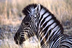 zebra-foal-30955 (Bill Quayle) Tags: zebra plains foal