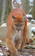 (skinsfan614) Tags: columbuszoo cat zoo bigcat columbusohio puma cateyes cougar mountainlion