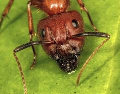 Carpenter Ant Head (Darts5) Tags: macro closeup bug insect ant insects bugs ants upclose bullant bullants camponotusfloridanus floridacarpenterant redandblackant hairyants floridacarpenterants tortugascarpenterant camponotustortugasnus tribecamponotini