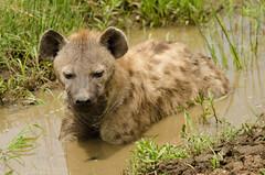 Spotted Hyena (gavball34) Tags: nikon kenya sigma safari mara hyena masaimara spottedhyena 120400 kenyansafari d7000 nikond7000