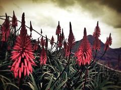 Porto Santo Flower (*atrium09) Tags: mountain flower portugal flor porto nubes montaa madeira santo iphone atrium09 rubenseabra