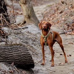 c'mon, why are you so....slow? (dK.i photography) Tags: winter dog cold female washingtondc waiting afternoon pointer january running trail visla hurryup shorthaired rockcreek blustery whatstakingyousolong bwcpl canon7d ef70200f28lisiiusm slowhumansexcited