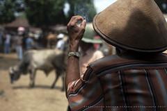 Staring at The Cattle (franciscus nanang triana) Tags: photo foto pasar triana nanang franciscus singkil centraljava livestockmarket boyolali