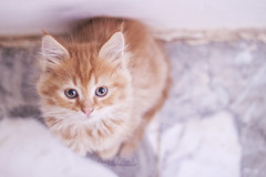 Lili <3 (Amjad Alharbi  - #Rmadeyah) Tags: cute animal cat canon kitty ksa