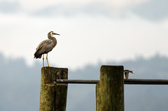 Sittin' On The Dock of the Bay (KriK) Tags: new sea bird beach wet sunrise island dawn bay dock nikon harbour north before 300mm zealand nikkor f4 afs sittin whitefacedheron on the tc14eii whakatane egrettanovaehollandiae ohope ohiwa d7000