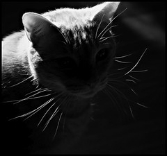 Playing with light (Kerri Lee Smith) Tags: blackandwhite bw cats pets sun white black animals silhouette contrast beige tabby jimmy cream kitty 100mm whiskers kitties buff tabbies felines backlit shortairs
