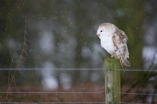 Barn Owl on a pole