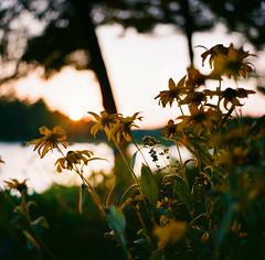 by the lake (n.white1) Tags: flowers summer 6x6 film nature analog mediumformat novascotia dof bokeh goldenhour hasselblad500cm kodakektar100