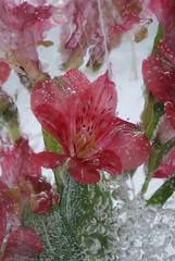 frozen flower 2 (stefatc) Tags: canada flower ice fleur nova frozen sony greenwood valley annapolis alpha scotia glace a300 geler